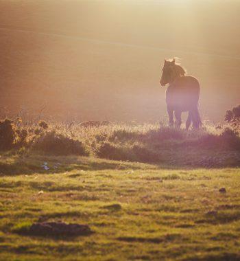 Cornwall Horse